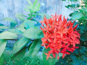 セブ島の花